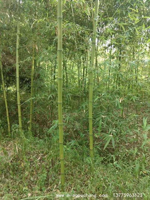 青竹苗竹子园林植物