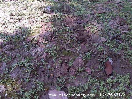 蒲公英种子发芽出芽图片