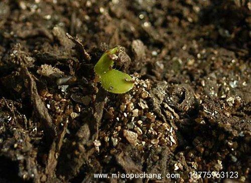 蔷薇种子发芽出苗图片